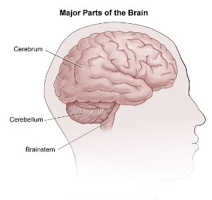 brain-anatomy.jpg